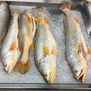 CORVINA GOLD (Cynoscion acoupa) - Amazon Export