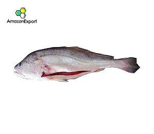 WHITE DRUM (Plagioscion squamosissimus) -  Amazon Export