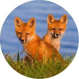 Capa Personalizada para Estepe Pneu Especial Crossfox Ecosport Fox Raposa 6
