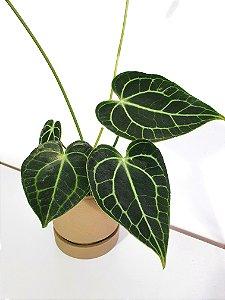 Anthurium Clarinervium   Pote Médio