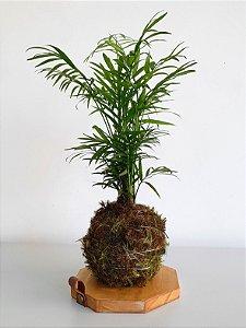 Kokedama com suporte em madeira | Palmeira chamaedorea
