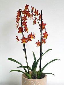 Orquídea Havaiana Rising Sun | Pote Pequeno