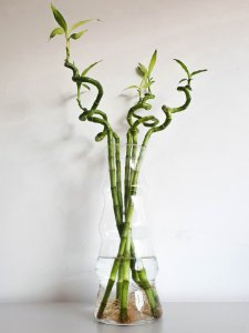 Bambu da Sorte Espiral | Haste Grande (45cm)