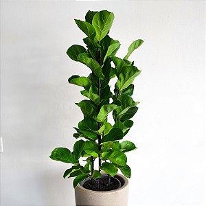 Ficus Lyrata Bambino | Extra grande