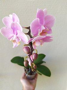 Orquídea Phalaenopsis | Pote Médio