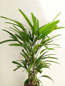 Palmeira Rhapis (aprox. 90cm)| Extra Grande
