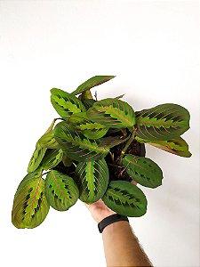 Maranta Leuconeura Tricolor | Cuia Grande