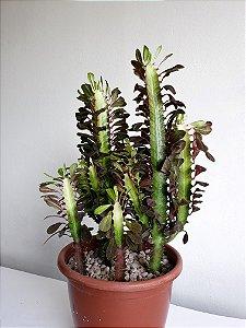 Cacto Euphorbia Trigona (Candelabro) | Extra Grande