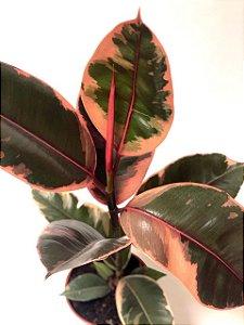 Ficus Elastica Ruby | Pote Grande