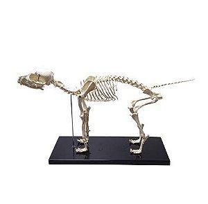 Esqueleto Anatômico