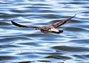 Gaivota voando sobre o mar - Cabo Frio, RJ