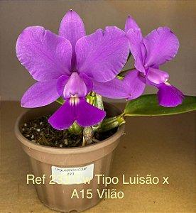 Cattleya Walkeriana Tipo Luisão x A15 Vitão