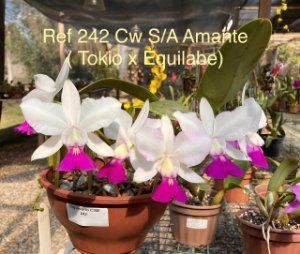 Cattleya Walkeriana S/A Amante ( Tokio x Equilabe)