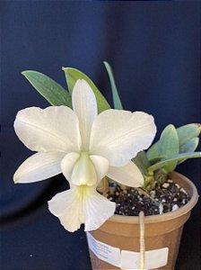 Cattleya Walkeriana Alba