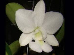 "Cattleya Walkeriana Albacens ""Nevaska"""