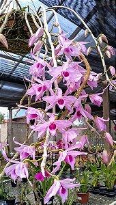 Dendrobium Anosmum Tipo
