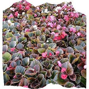 Flor Begônia cx c/ 15 mudas
