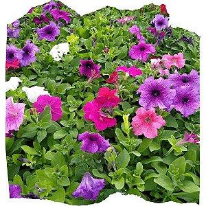 Flor Petúnia cx c/ 15 mudas