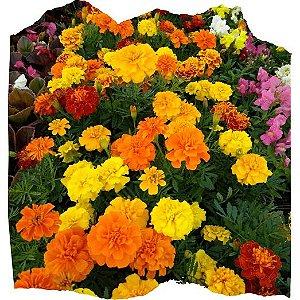 Flor Tagetes cx c/ 15 mudas