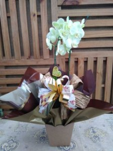 Orquídea Phalaenopsis 2 Hastes (pote 15) embalagem luxo