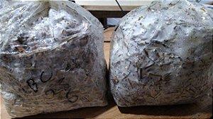 Caixa Fechada com 10 pacotes - Semente de Shimeji - Preço para Pedidos em quantidades Comerciais