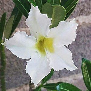 Rosa do Deserto Pérola (Flor simples)