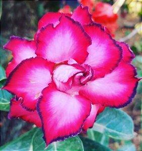 Rosa do Deserto VERMELHA (Flor tripla)