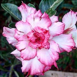 Rosa do Deserto L-29