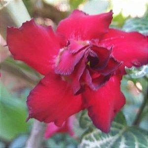 Rosa do Deserto VERMELHA DOBRADA