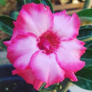 Rosa do Deserto Rosa (DOBRADA)