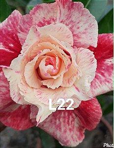 Rosa do Deserto L-22