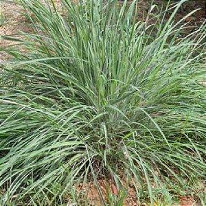 Capim Andropogon Gayanus Planaltina - Saco com 07 kg
