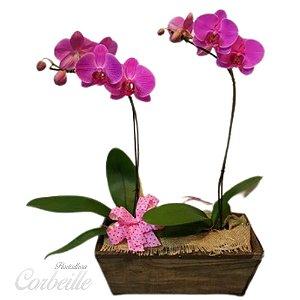Orquidea Dupla Pink no Cachepot de Madeira