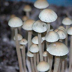 Panaeolus cyanescens - Seringa de 5ml com esporos para cultivo