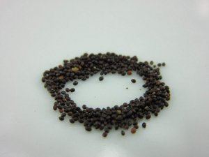 Hortelã-pimenta (Mentha piperita) 20 Sementes para cultivo