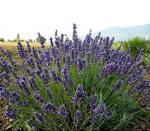 Lavanda/ Alfazema (Lavandula sp.) - 20 Sementes para cultivo