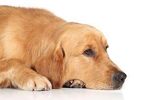 Condroitina, glucosamina e associações suplementação para cães acima de 40kg