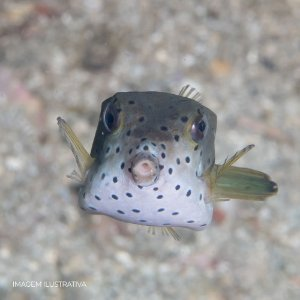 White Boxfish