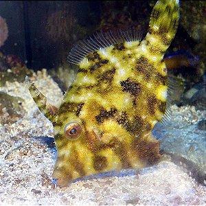 Seagrass Filefish