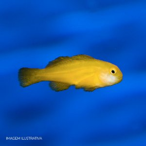 Yellow Coral Goby (Sandro)