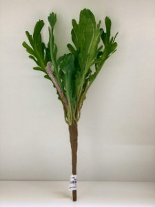 Folha de asplenio verde