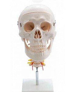 Crânio com Coluna Cervical em Resina Anatômic