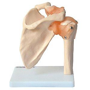 Articulação Do Ombro e Ligamentos Anatomic