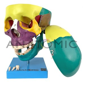 Crânio Didático Colorido 5 Partes Tamanho Natural Anatomic