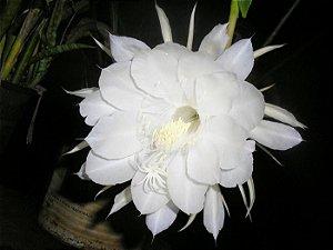 Flor da noite Desidratada - BELEZA DA TERRA