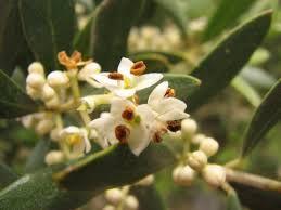 Folha de oliveira em Pó - BELEZA DA TERRA