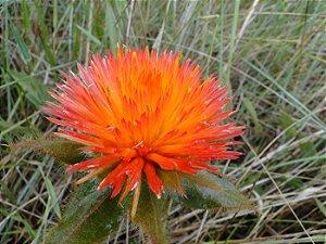 Para-Tudo (Flor do Cerrado) - BELEZA DA TERRA