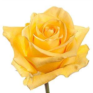 Rosas Amarelas - 01 Pacote com 20 unidades - Escolha o tamanho abaixo: