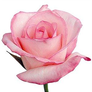 Rosas Vânia Nacionais - 01 Pacote com 20 unidades - Escolha o tamanho abaixo:
