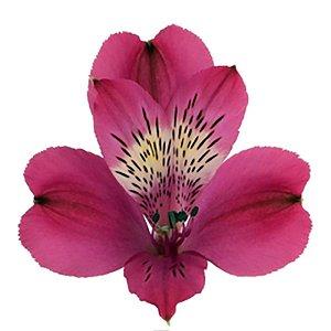 Astromélia Rosa Escuro Pacote 10 hastes